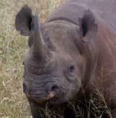 blackrhino.jpg