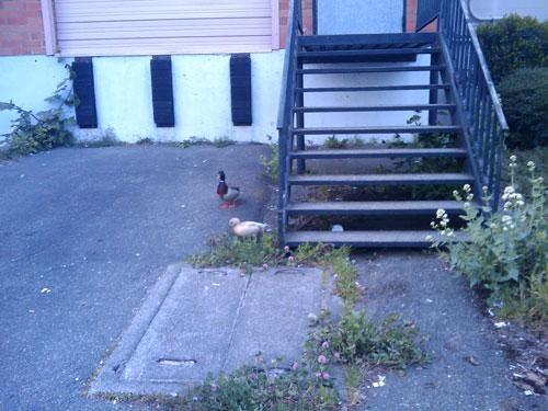 ballard_duck_gangs
